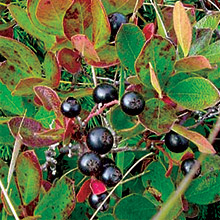 Tribe's Huckleberry Harvest Brings Fire (or Something Like It) Back to the Forest