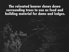 Beavers Relocated to Upper Skykomish