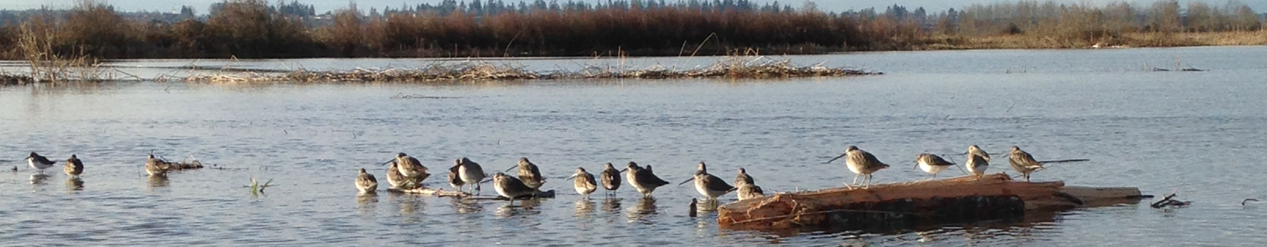 Tulalip Natural Resources Department close up image of shorebirds in nearby restored habitat