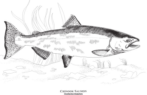 Tulalip Natural Resources line art of a Chinook salmon