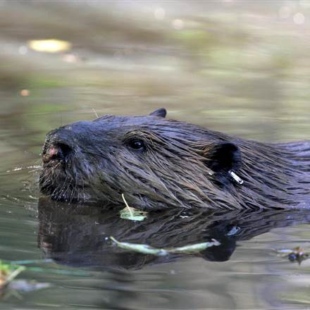 Tulalip Tribes Natural Resources Department news link to Beavers are Great for the Environment, as Neighbors, Not so Much with image of beaver head