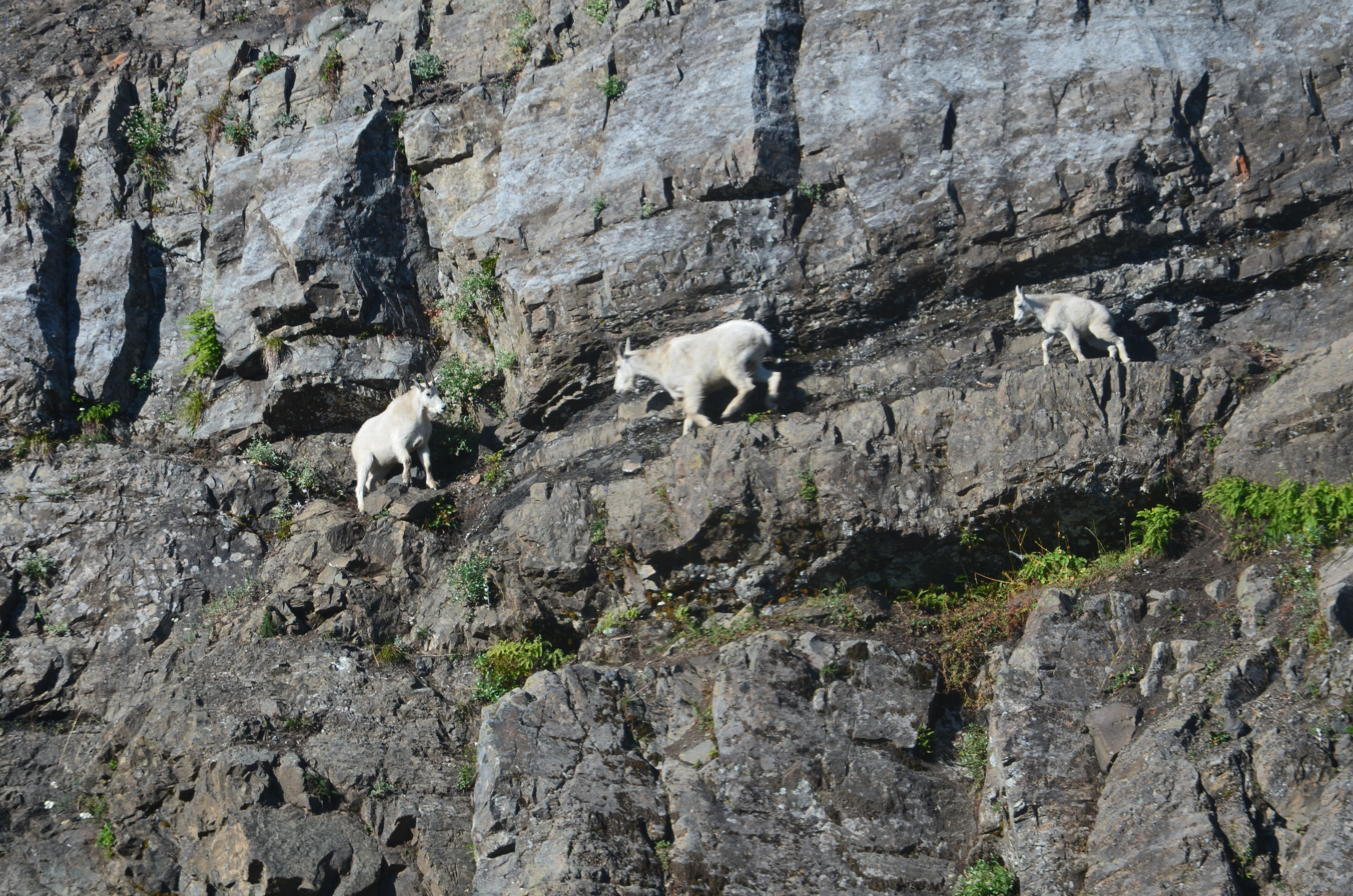 Tulalip Tribes Natural Resources Department news link to North Cascades Mountain Goats Threatened by Climate Change with image of mountain goats on cliff face of mountain