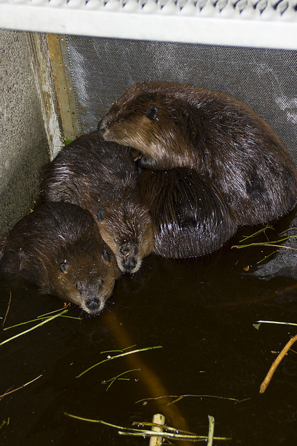 Tulalip Tribes Natural Resources Department news link to Beavers Relocated to Improve Salmon Habitat with beavers in temporary cage