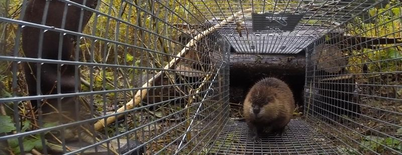 Tulalip Tribes Natural Resources Department news link to Living with Beavers with image of beaver walking in fencing