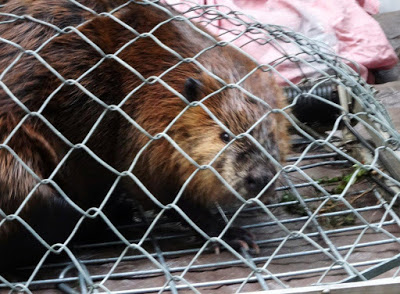 Tulalip Tribes Natural Resources Department news link to New Home and New Mate in Beatrix the Beaver's Future with image of beaver in fencing
