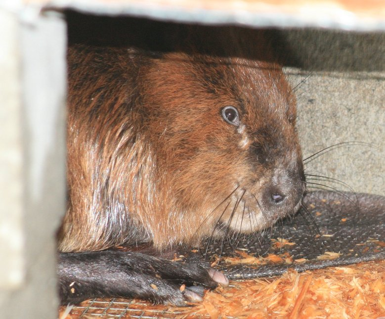 Tulalip Tribes Natural Resources Department news link to Beatrix the Beaver Trapped and Waiting for Love in New Home with image of beaver in captivity