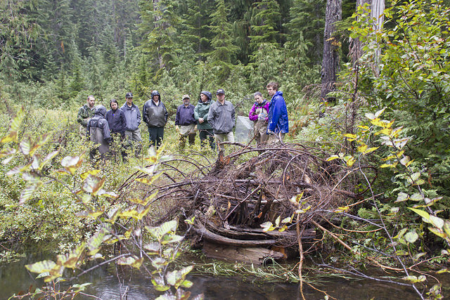 Tulalip Tribes Natural Resources Department news link to Tulalip Beaver Relocation Project with image of many visitors to a beaver lodge