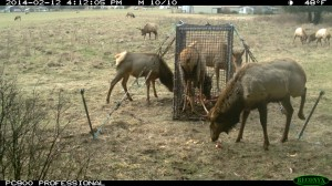 Tulalip Tribes Natural Resources Department news link to Tribes Expand Efforts to Monitor Nooksack Elk with image of elk at a feeder