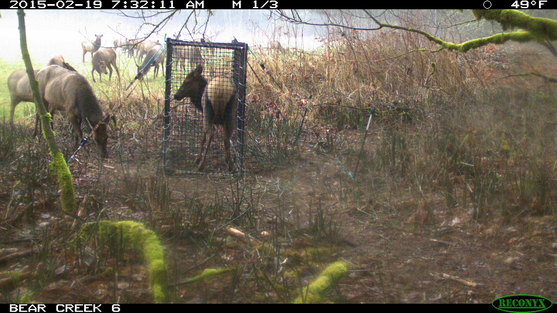 Tulalip Tribes Natural Resources Department news link to Big Fence to Protect Skagit Farm from Elk Herd with image of elk by fencing