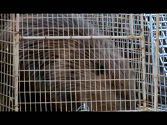 Tulalip Matters: Beaver Relocation Project